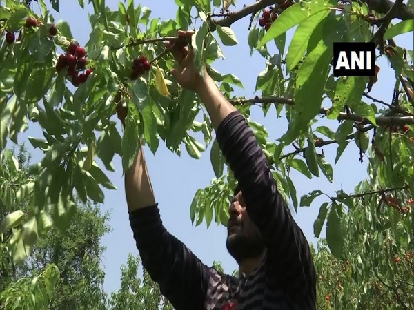 Cherry harvesting begins in Kashmir Valley after Covid restrictions relaxed